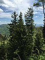 2017-05-17 14 34 03 Two Carolina Hemlocks and a Fraser Fir in Newfound Gap within Great Smoky Mountains National Park, on the border of Sevier County, Tennessee and Swain County, North Carolina.jpg