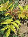 20170409Ailanthus altissima2.jpg
