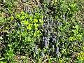 2019-04-25 (109) Euphorbia cyparissias (cypress spurge) and Ajuga reptans (blue bugle) at Haltgraben, Frankenfels, Austria.jpg