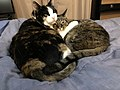 2020-03-25 12 14 47 A Calico cat and a tabby cat cuddling on a bed in the Franklin Farm section of Oak Hill, Fairfax County, Virginia.jpg