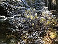 2020-10-17 14 36 14 Balsam Firs covered in a light coating of snow along the Lookout Rock Trail on Equinox Mountain in Manchester, Bennington County, Vermont.jpg