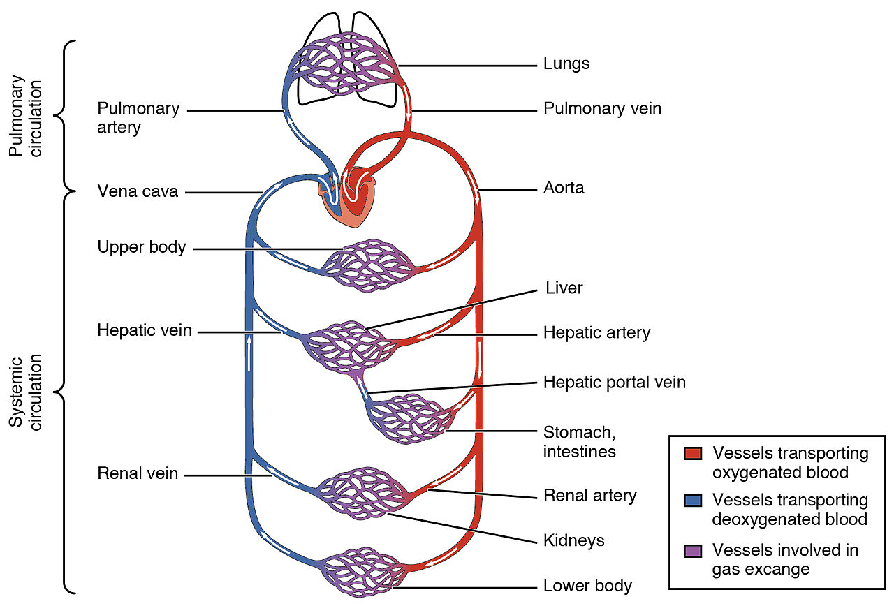 Circulatory system - Wikiwand