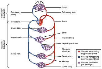 Capillary - Simplified image showing blood-flow through the body, passing through capillary networks in its path.