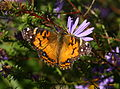 2617 American Lady on Aster (2968397618).jpg