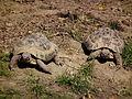 2 Griechische Landschildkröten Leintalzoo Schwaigern 2013.JPG