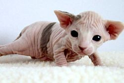 Two-week-old Sphynx kitten.