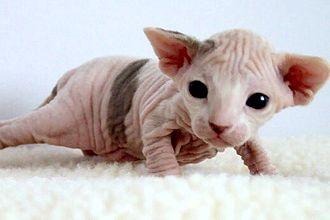 Sphynx cat - Two-week-old Sphynx kitten
