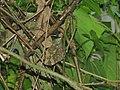 306枯葉蝶3(葉錫根攝) (30915201124).jpg