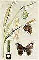 35-Indian-Insect-Life - Harold Maxwell-Lefroy - Melanitis-ismene.jpg