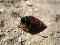 3993 - Zermatt - Zygaenidae.JPG