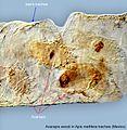 5-Acarapis-woodi-in-Apis-mellifera-trachea-Mexico.jpg