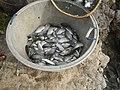 5749Isla Babatnin Malolos Bulacan Guava Fishes 48.jpg
