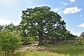 61-220-5037 Lytiachi Oak RB 18.jpg