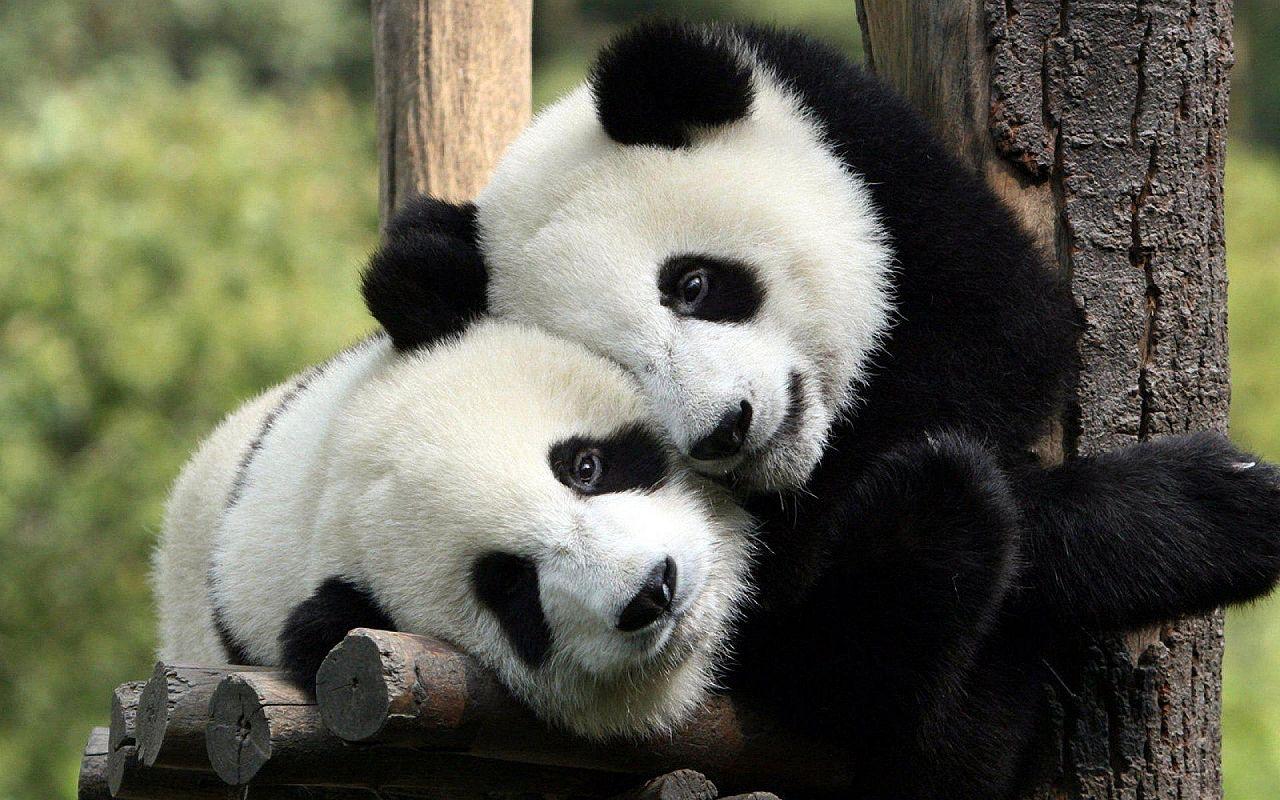 Beautiful And Rare Pandas Peculiarities You Quizzclub