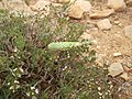 8)faune d'El kantara(Algerie).jpg