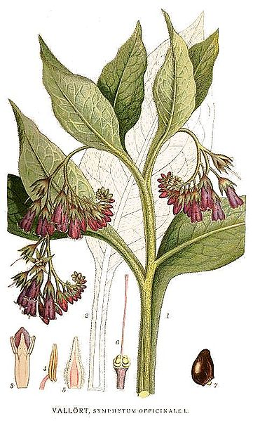 Archivo:86 Symphytum officinale.jpg