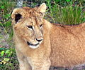 9 month old Lion Cub.jpg