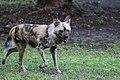 AFRICAN WILD DOG (11418082166).jpg