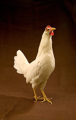 White Leghorn hen on plain brown background