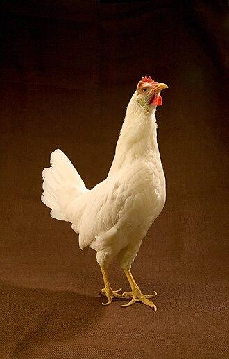 ARS-White Leghorn hen.jpg