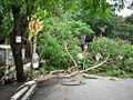 A Fallen Tree in Kulupwadi Rd, Borivali (35520292).jpg