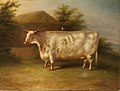 A Shorthorn Cow by Henry Stafford, Towneley Hall Art Gallery .jpg