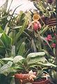 A and B Larsen orchids - Paphiopedilum glaucophyllum x curtisii 486-13.jpg