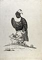 A bird, possibly a capercaillie. Etching by W. Hayes, ca. 17 Wellcome V0022204.jpg