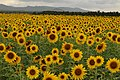 A field of sunflowers.jpg
