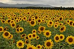 A field of sunflowers.jpg