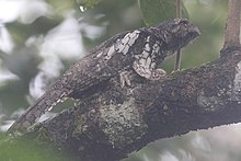 A nesting Sunda Frogmouth (Batrachostomus cornutus) at Namang Village, Central Bangka, Indonesia.jpg