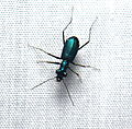 A small tiger beetle (20548689440).jpg