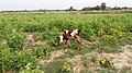 A view of calf in the field of Janakpur, Nepal 20170622 183443.jpg