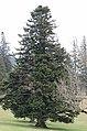 Abies alba Tree.jpg