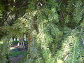 Abies cephalonica - twigs2.jpg