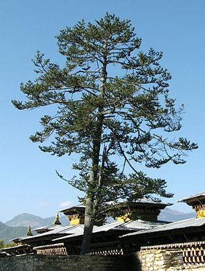 Abies densa Wangdicholing Palace.jpg