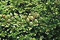 Abies fraseri (Fraser fir) (Clingmans Dome, Great Smoky Mountains, North Carolina, USA) 6 (36843539702).jpg