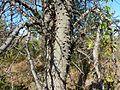 Acacia nigrescens, knoppiesbas, Steenbokpan, a.jpg