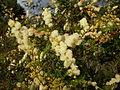 Acacia terminalis flowers 1.jpg