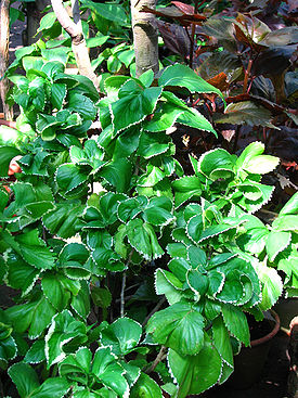 Acalypha wilkesiana (in a greenhouse) 02.JPG