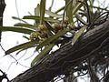 Acampe praemorsa (Roxb.) Blatt. & McCann (7260541790).jpg