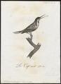 Acanthorhynchus tenuirostris - 1802 - Print - Iconographia Zoologica - Special Collections University of Amsterdam - UBA01 IZ19200005.tif