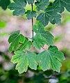 Acer campestre in Tarn.jpg