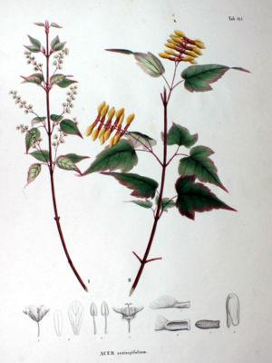 Hawthorn-leaved maple (Acer crataegifolium), illustration