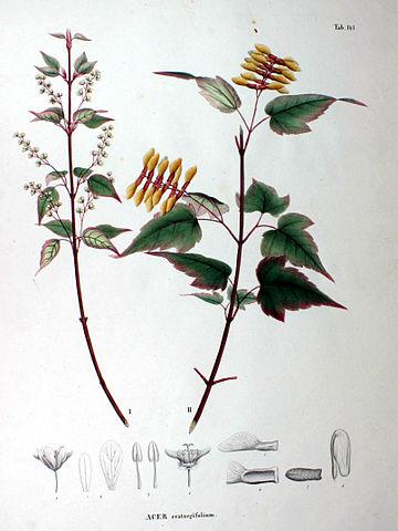 Acer crataegifolium 'Veitchii' - érable à feuilles d'aubépine, forme panachée  360px-Acer_crataegifolium_SZ147