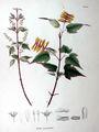 Acer crataegifolium SZ147.jpg