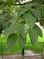 Acer davidii leaves.JPG
