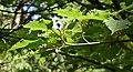 Acer davidii ssp. grosseri in Christchurch Botanic Gardens 03.jpg