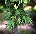 Acer japonicum in Auckland Botanic Gardens 05.jpg