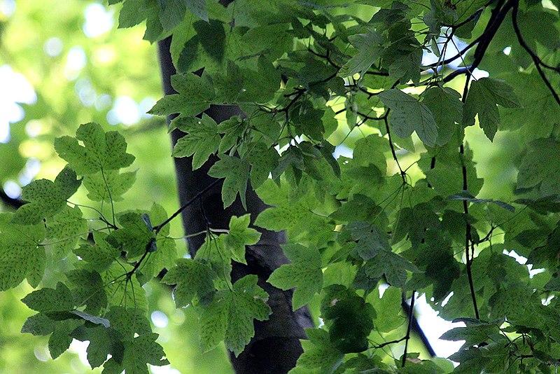 File:Acer pseudoplatanus Worley.jpg